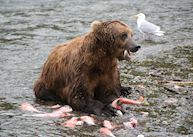 A grizzly bear feasting on salmon at Brooks Falls