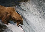 A grizzly bear catching salmon, Brooks Falls