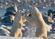 Sparring polar bear near Seal River Heritage Lodge