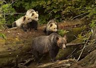 Grizzly bear sow and cubs at Knight Inlet Lodge