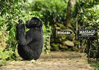 Gorilla visiting Bwindi Lodge