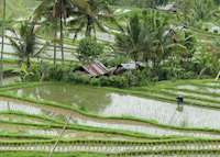 Rice Field Views, Munduk