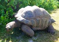 Giant Tortoise, Bird Island Lodge, Bird Island