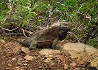 Iguana Trail, Guana Island