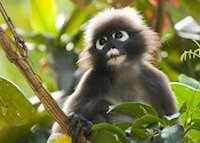 Dusky Leaf Monkey, Langkawi