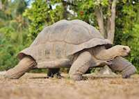 Giant Land Tortoise, Bird Island Lodge, Bird Island