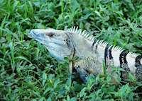 Black Iguana, Arenal