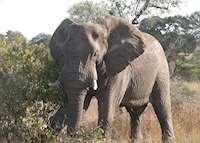 Bull elephant, Kruger National Park, South Africa