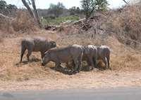 Warthog, Kruger National Park, South Africa