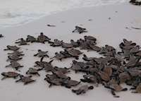 Hawksbill Turtle Hatchlings, Bird Island Lodge, Bird Island