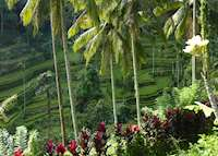 Rice terraces outside of Ubud