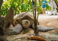 Hawksbill turtle, Denis Private Island, Denis Island