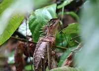 Horned lizard in Khao Sok National Park