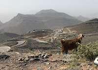 Wild Goat, Jebel Akhdar