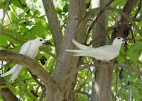 Fairy terns, Bird Island