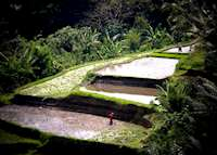 Rice terraces outside Ubud, Indonesia
