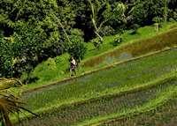Rice farmer, Munduk