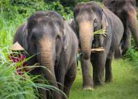 Elephants in the Khao Sok National Park, Thailand