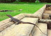 Land monitor lizard, Anuradhapura