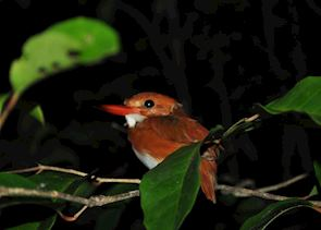 Malachite Kingfisher, Manafiafy, Madagascar