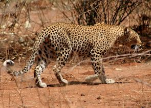 Leopard, Lower Zambezi National Park, Zambia