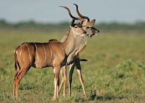 Kudu in Etosha National Park