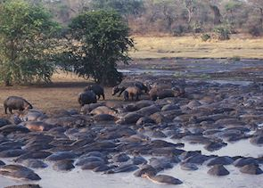 Hippos - Katavi National Park