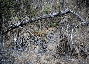 Leopard in the Kwandwe Private Game Reserve