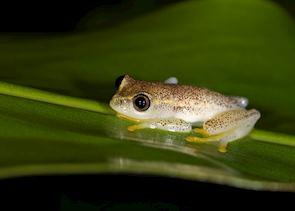 Frog, Andasibe-Mantadia National Park, Madagascar