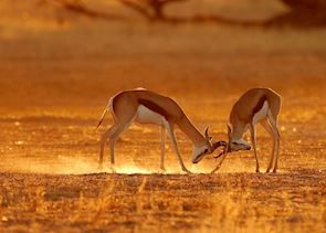 Springbok fighting in the Kalahari