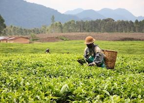 Tea plantations near Gisenyi, Rwanda