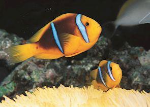 Clown fish, Bora Bora