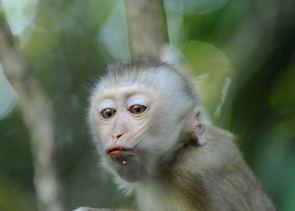 Gibbon at Khao Yai