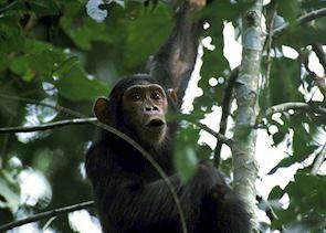 Chimpanzee in Kyambura Gorge, Queen Elizabeth National Park