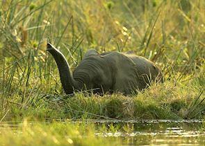 Elephant in the Okavango