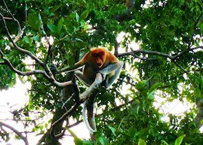 Proboscis monkey, Malaysian Borneo