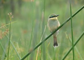 Little bee-eater in the Khwai Concession