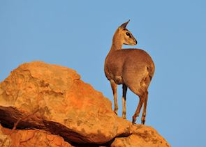 Klipspringer, Royal Natal National Park