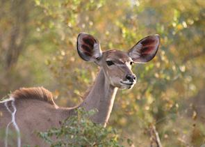 Kudu in The Sabi Sabi Wildtuin
