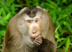 Macaque in the Khao Yai National Park