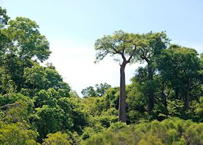 Baobabs, Anjajavy Private Nature Reserve