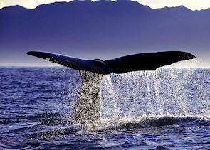 Whale fluke, Kaikoura