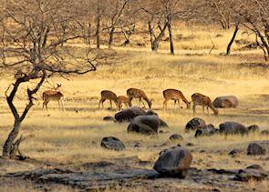 Spotted Deer, Kanha National Park