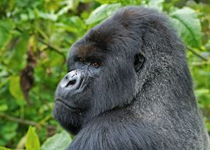 Silverback in the Bwindi Impenetrable Forest
