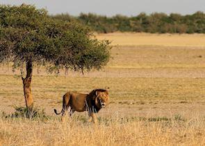 Lion in the Kalahari