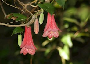 A copihue, the national flower of Chile