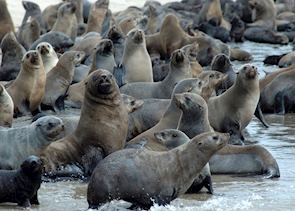 Seals at Pelican Point