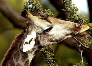 Red billed oxpecker on giraffe