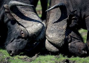 Buffalo fighting in the Kwando Concession, Botswana