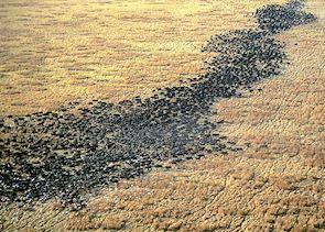 Buffalo herds crossing the plains, Katavi National Park